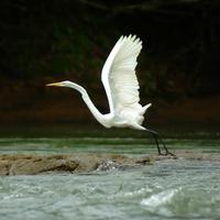 Queen egret