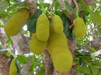 Jaca - Fruta Tropical