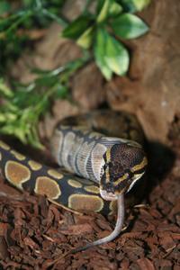 Snake eating 5