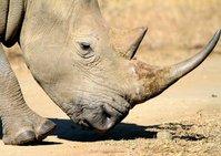 White Rhino (Rhinoceros) 1