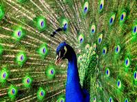 Kings peacock 4
