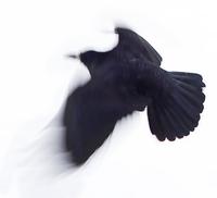 black raven 2