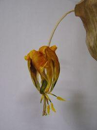 Dried Tulip