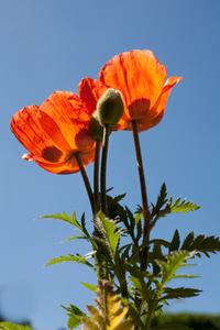 Papaver rhoeas Papaveraceae 3