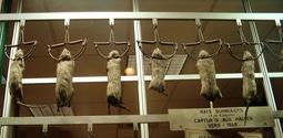 Hanging norway rats (captured