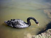 Cisne negro 3