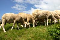 Sheep bunch 1