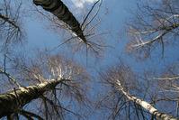 Birch under blue Sky
