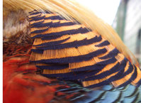 golden pheasant 3