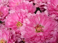 Pretty flower in pink 1