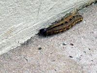 brazilian catterpillar on gro