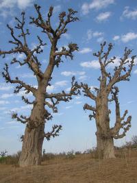 Dessert trees in Africa