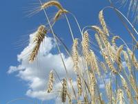 corn on the sky