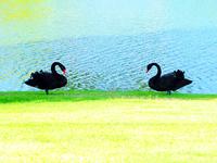 Flirting swans