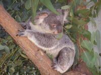 Koala, Taronga Zoo, Sydney Australia