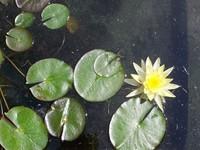 Lily Pad 1