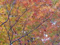orange maple 2
