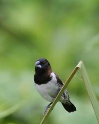 Grass Finch 2