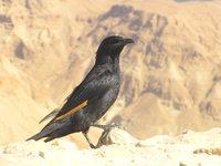 Tristram's Starling 2