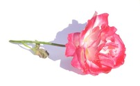 Blush Rose 54