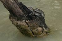 Baby Crocodiles, Panama