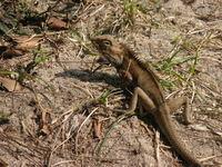 Lizard 4
