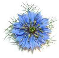 Nigella Flower-Love in the mist