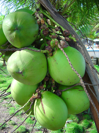 Green Coconut 1
