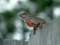 male chameleon