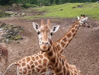 Giraffe @ the zoo