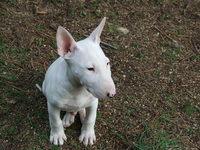 babe bull terrier