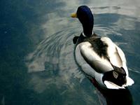 Poor Mr. Duck