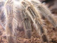 tarantula 2