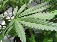 Healthy Cannabis Leaf