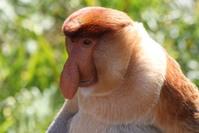 Proboscis Monkey, Sandakan, Borneo