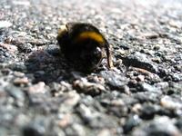 Dying bumblebee