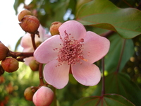 Urucum Flower