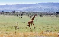 African landscape with wild giraffe 4