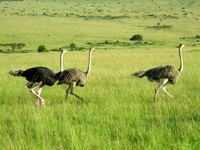 Ostrich - Masai Mara - Kenya