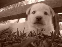 puppy sepia 2