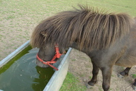 Drinking Pony