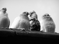 pigeons 5