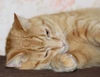 Ginger Cat 3