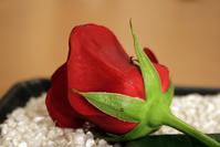 Rose in gravels
