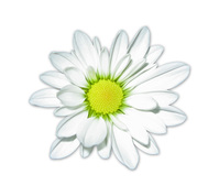 Daisy 55