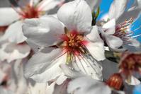 almond in blossom 4
