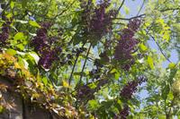 violet syringa blossoms