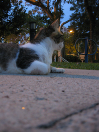 A Calico Cat 2