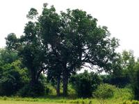 Dagupan Tree
