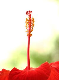 Hibiscus_ 2